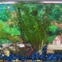 55 gallons freshwater fish tank (mostly fish and non-living decorations) - My Oscar and Convict Cichlid Tank