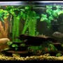 55 gallons freshwater fish tank (mostly fish and non-living decorations) - My 55 gal tank