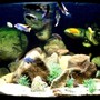 92 gallons freshwater fish tank (mostly fish and non-living decorations) - 92g Corner of Lake Malawi