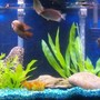 55 gallons freshwater fish tank (mostly fish and non-living decorations) - My new world cichlid tank.