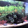 47 gallons freshwater fish tank (mostly fish and non-living decorations) - Juwel Vision 180 with fake plants and a piece of bogwood.