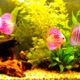 40 gallons freshwater fish tank (mostly fish and non-living decorations) - discus