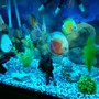 90 gallons freshwater fish tank (mostly fish and non-living decorations) - My discus tank...