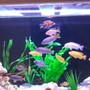 95 gallons freshwater fish tank (mostly fish and non-living decorations) - A few of the fish