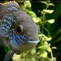 20 gallons freshwater fish tank (mostly fish and non-living decorations) - Blue Acara
