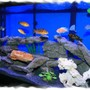 75 gallons freshwater fish tank (mostly fish and non-living decorations) - 75 Gal African Cichlid Tank