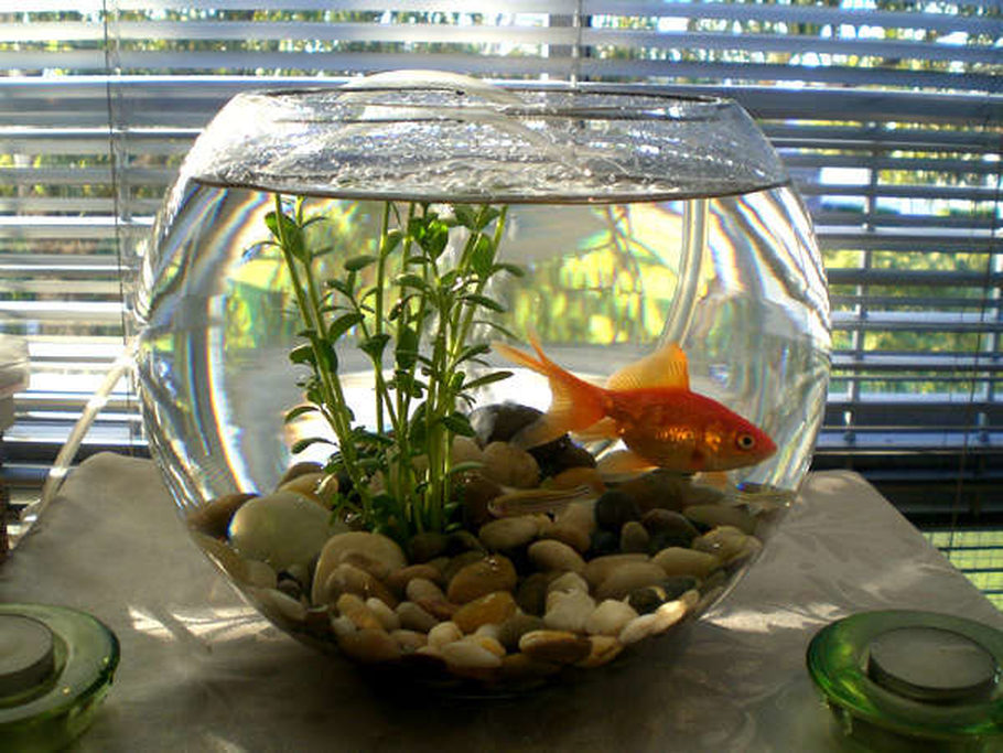 Azwandi 39 s freshwater tanks photo id 10205 full version for Fish bowl with plant on top