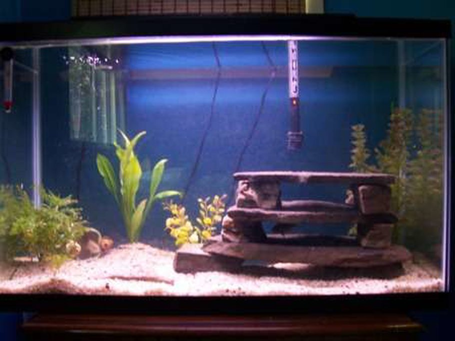 29g Firemouth Tank 4 Rocks Stacked For Shelter Few Live Plants Not