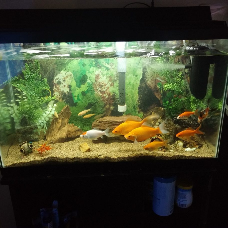 Gold ffsh dude 39 s freshwater tanks photo id 42685 full for How often do you clean a fish tank