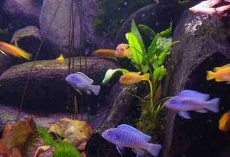 How to Raise Cichlid Fry to Maturity