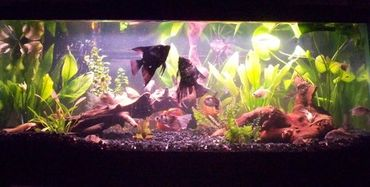 Constipation/Indigestion in Aquarium Fish