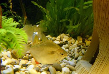 Tips for Breeding Silver Dollar Fish