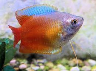 Keeping Dwarf Gouramis in the Freshwater Tank
