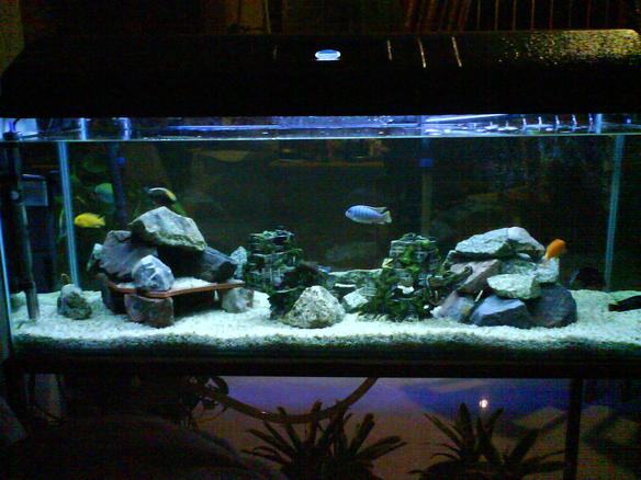 Photo 1 My 2 Young Cfrontosa The Fish 9 Cichlids Fro