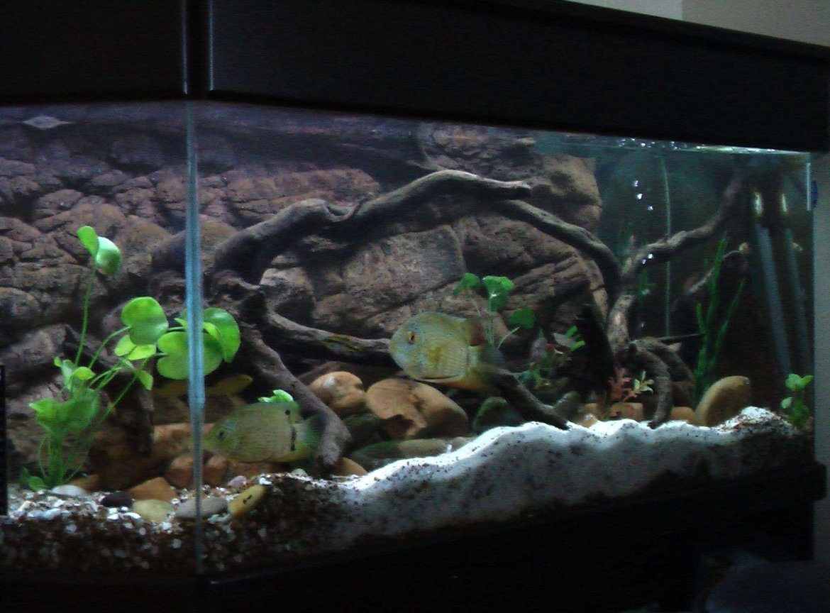 fish tank picture - my two severums flubber and blubber