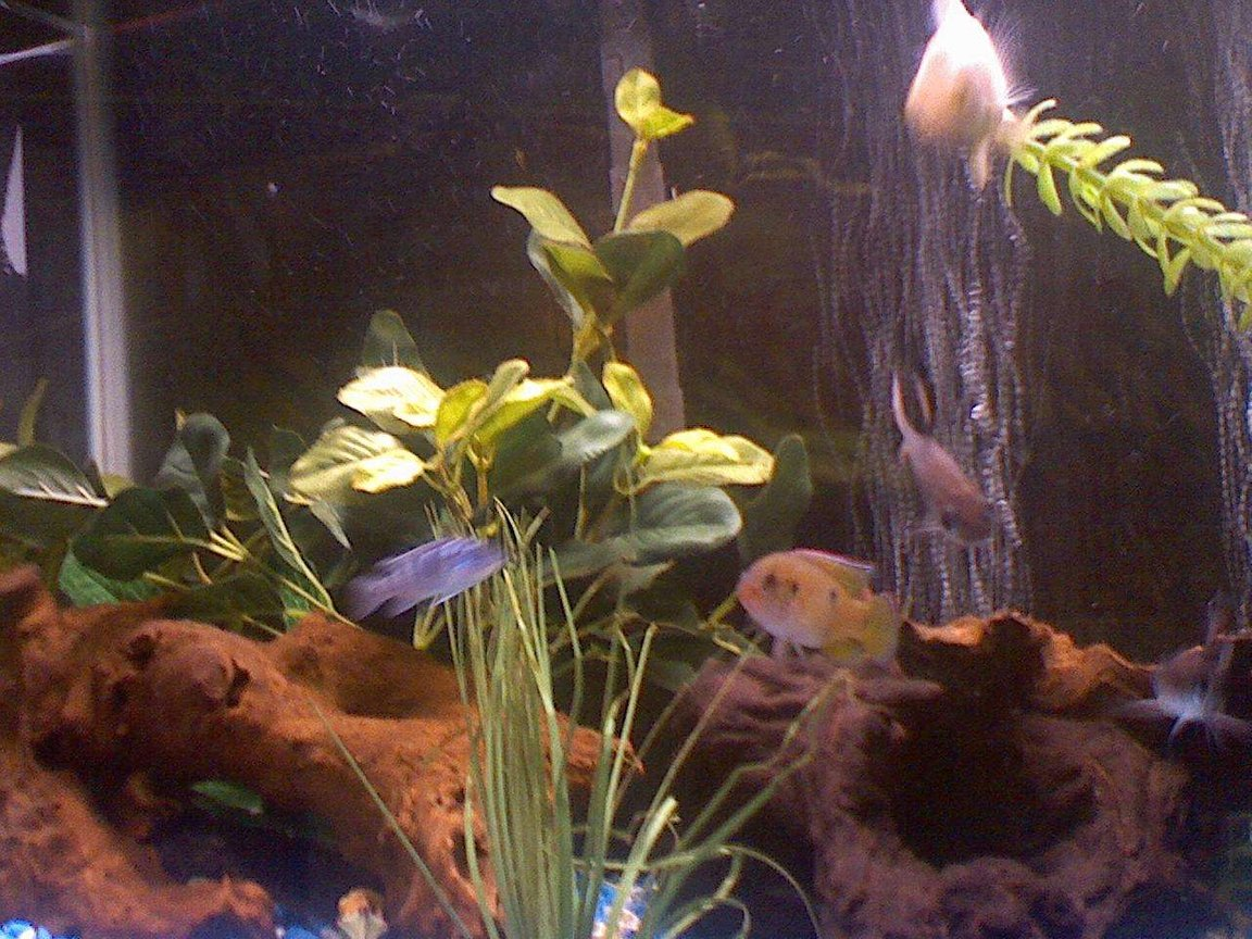 fish tank picture - my powder blue gournami jewl fish, bala shark, and my oscar even though blurry