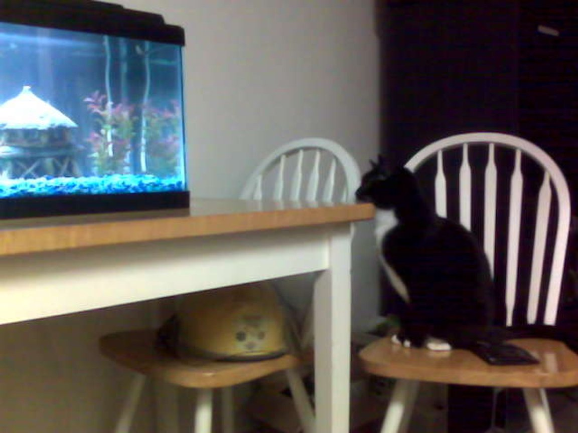 fish tank picture - The cat finally noticed my new Tiger Barbs.