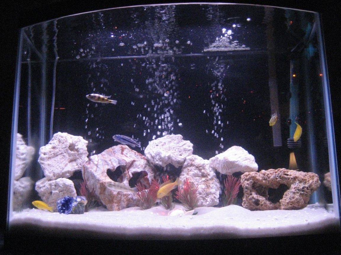 fish tank picture - We now have converted our 28 gallon tank from having platys in it to now African Cichlids in it! They are great fish to have and are so pretty!!