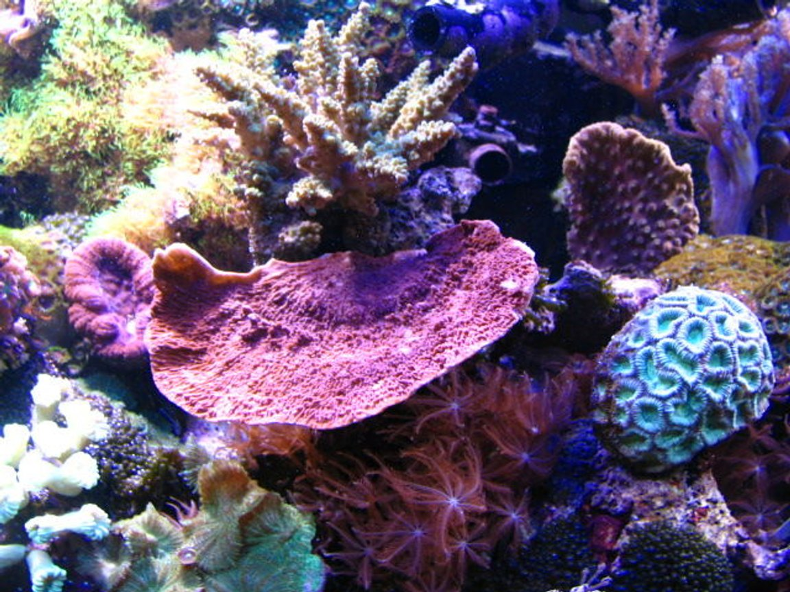 fish tank picture - Acropora