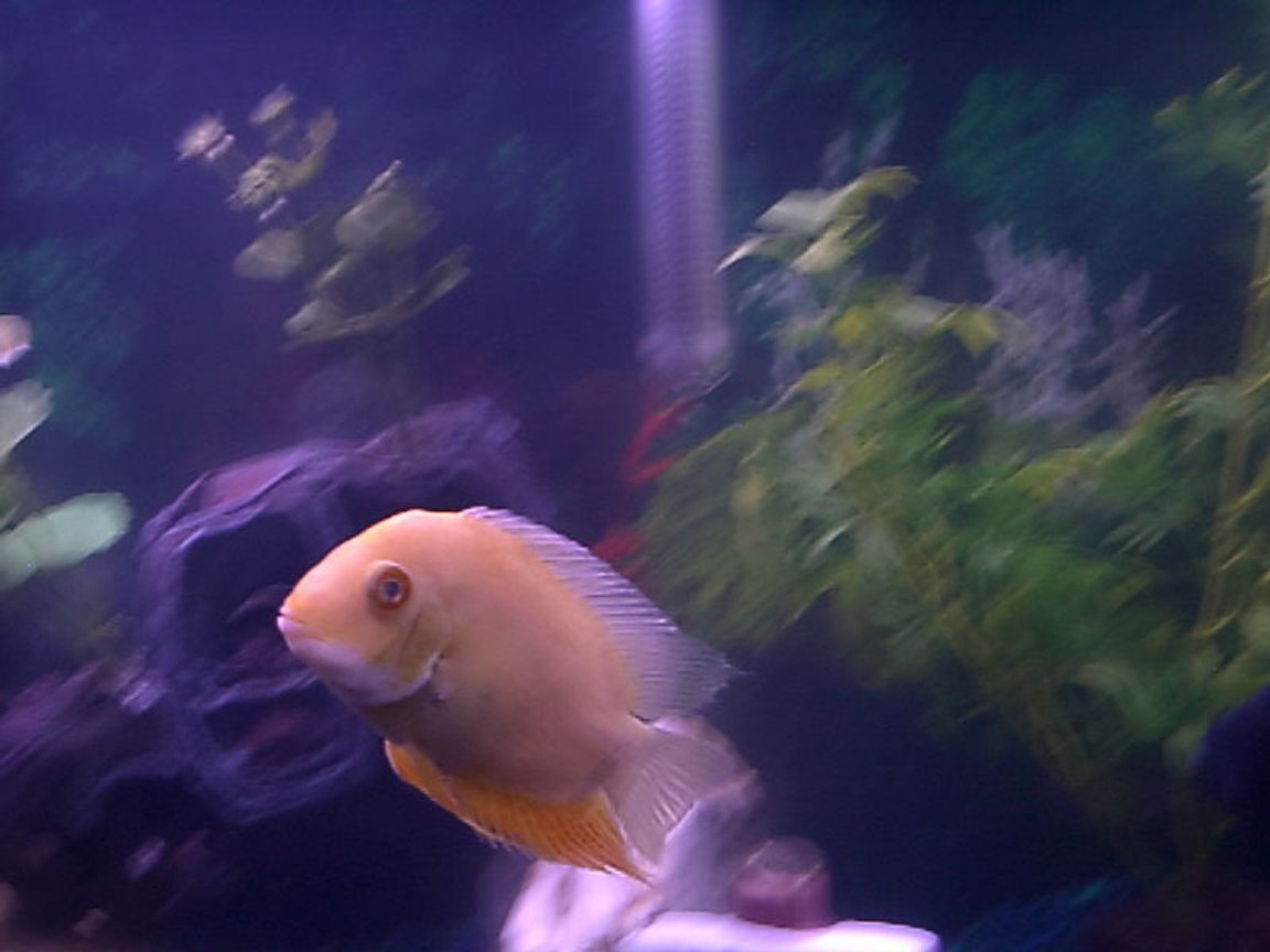 fish tank picture - This is My Golden Severum. He came with the Tank in a bucket of ice cold water he was In for over 24 Hours! Sadly his Buddy did not make it! He was all white and fuzzy and was a very sad, sick Little Fishy. His Eyes were solid white as well. He has been on Meds since He, His Friends & Tank arrived here on 04/12/08. In these past 2 Day's his Eyes & Skin have cleared up SO MUCH & He is up swimming around! I am SO GLAD He came to Us. He was on His Last Fin & Now were expecting a FULL RECOVERY!