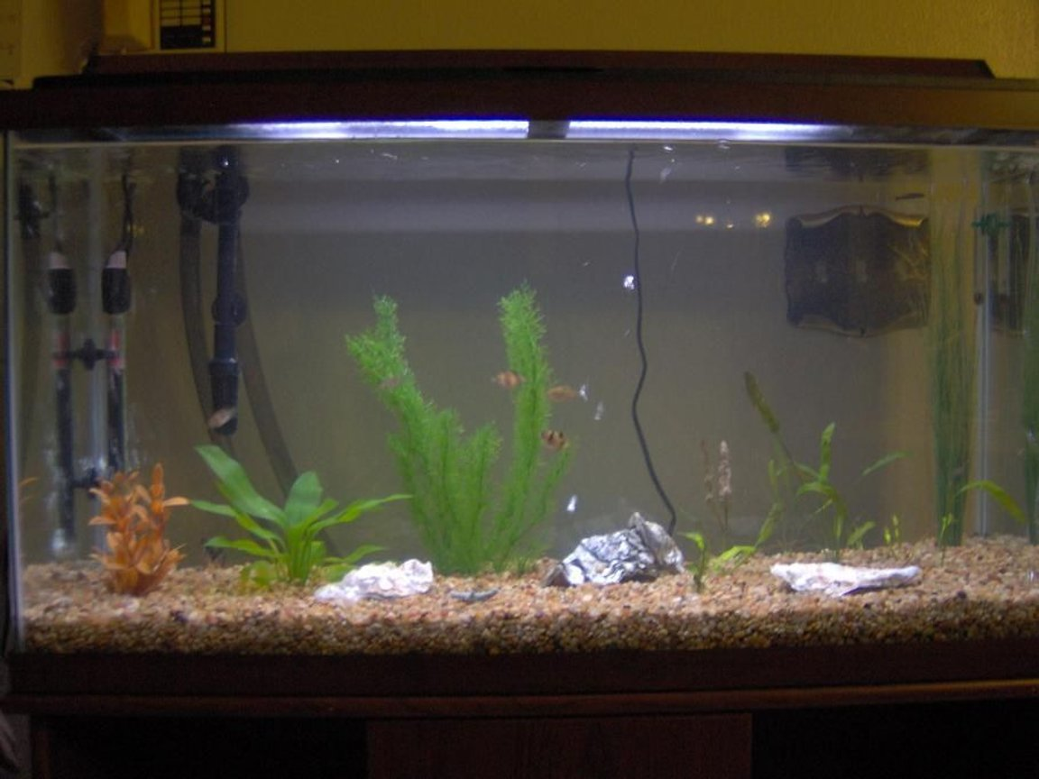 fish tank picture - My 38 Gallon Fish Tank, 6 Tiger Barbs, 2 Green Tiger Barbs, One White Cloud Minnow, and a Gold Chinese Algae Eater. I'm using a Marineland C-Series Multi Stage Canister Filter C-220, the best fiter out there. I personaly think this filter is better then the Eheim, because it allows no bypass, it forces the water through the filter media trays and not around them, all the other canisters allow 40% to 60%