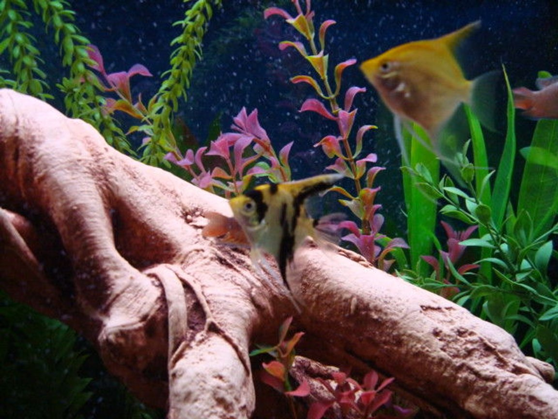 fish tank picture - Nice close up of Angels.
