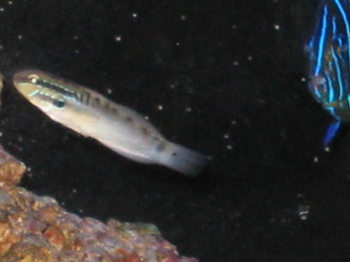 fish tank picture - Dragon Goby