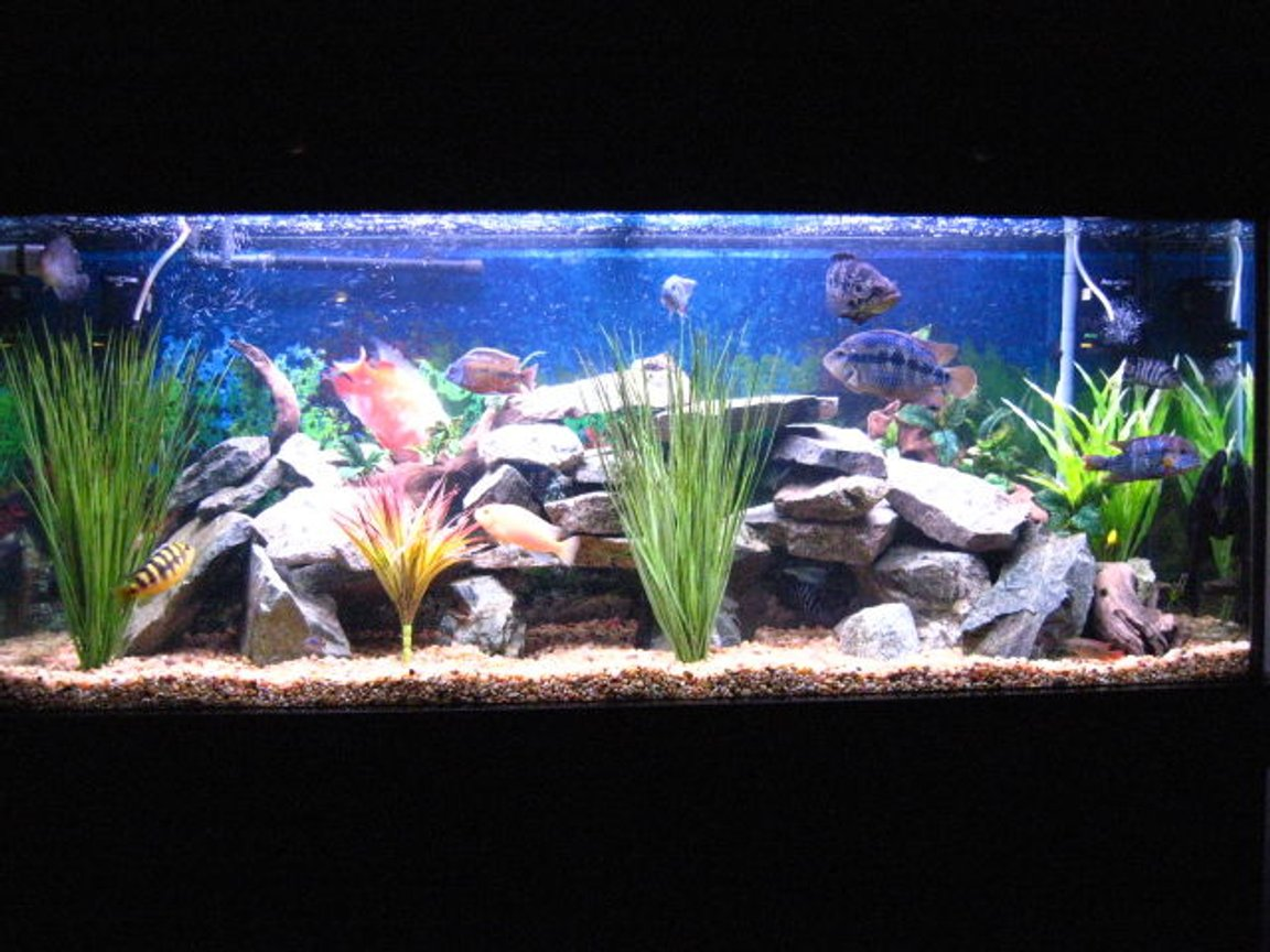fish tank picture - 120 Gal Fresh Water tank with a mix of African / South American Childs