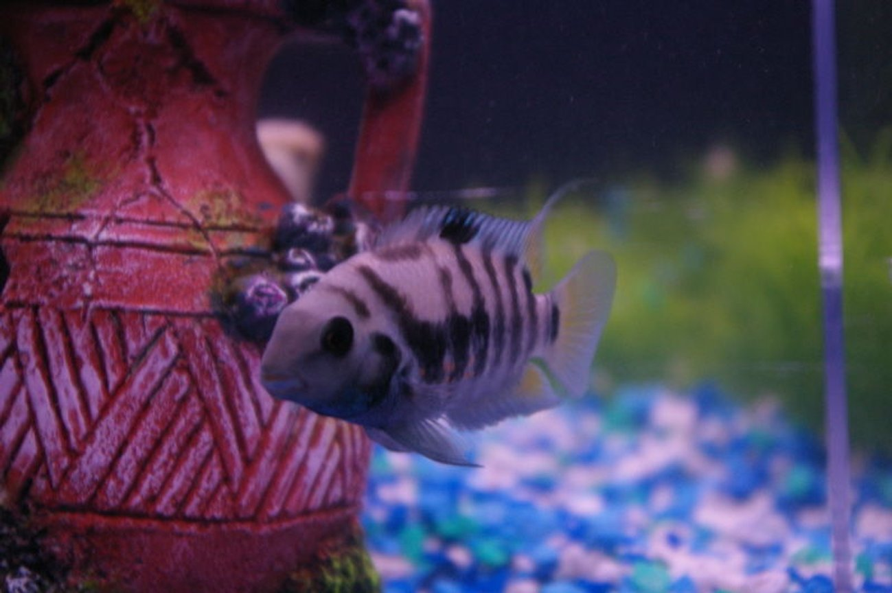fish tank picture - Black convict mother of fry with pink convict