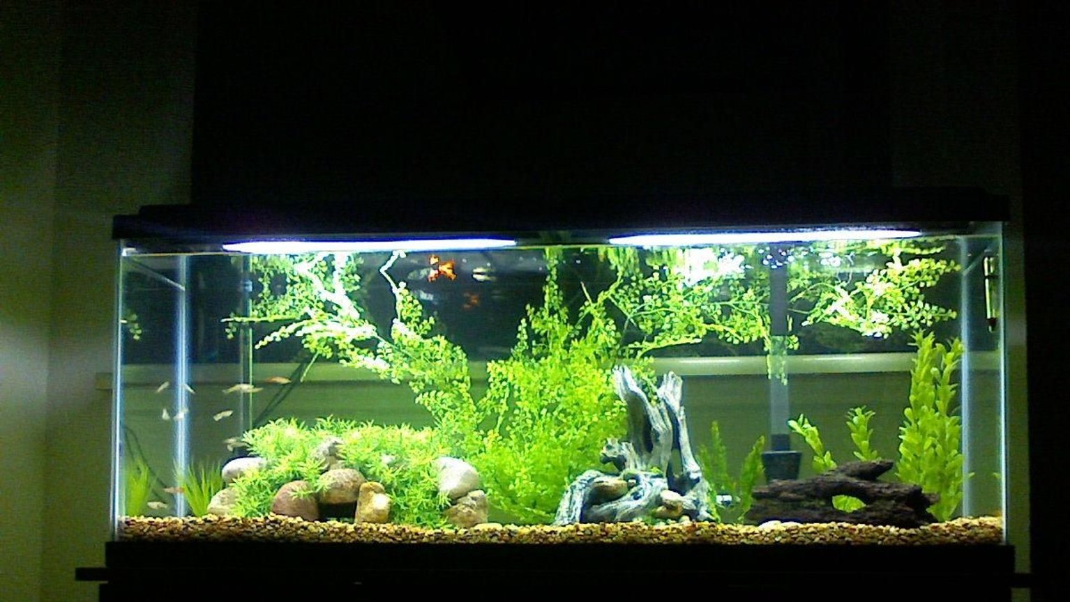 fish tank picture - Mollies, Platys, and Guppies, and TONS of Hiding places. Our first Large tank!