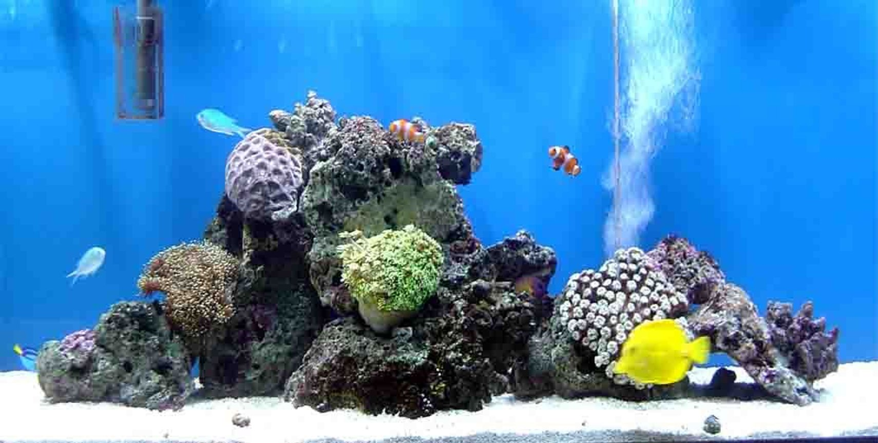 fish tank picture - Tank parameters are great Added a Yellow tang and some more coral. Not an expert on naming them yet, but i think the green ones a golf ball and the one on the right is a galaxia.