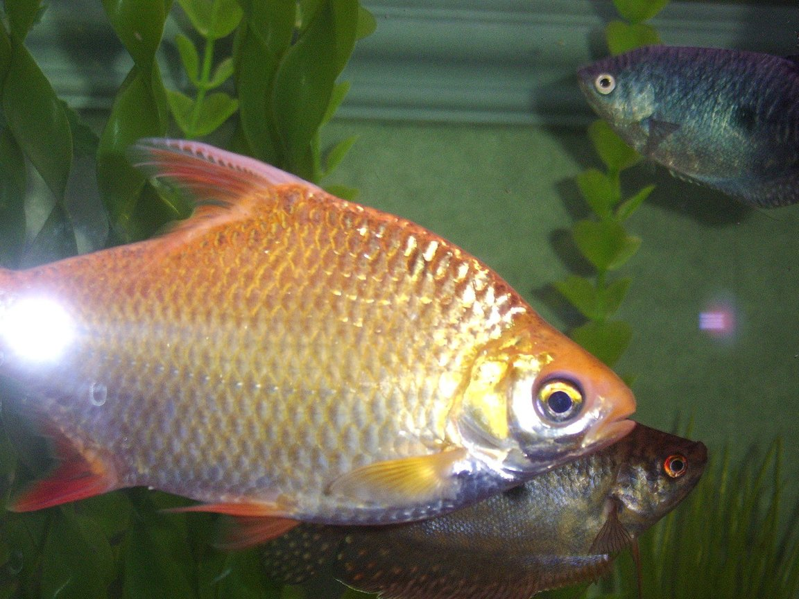 fish tank picture - golden tinfoil barb