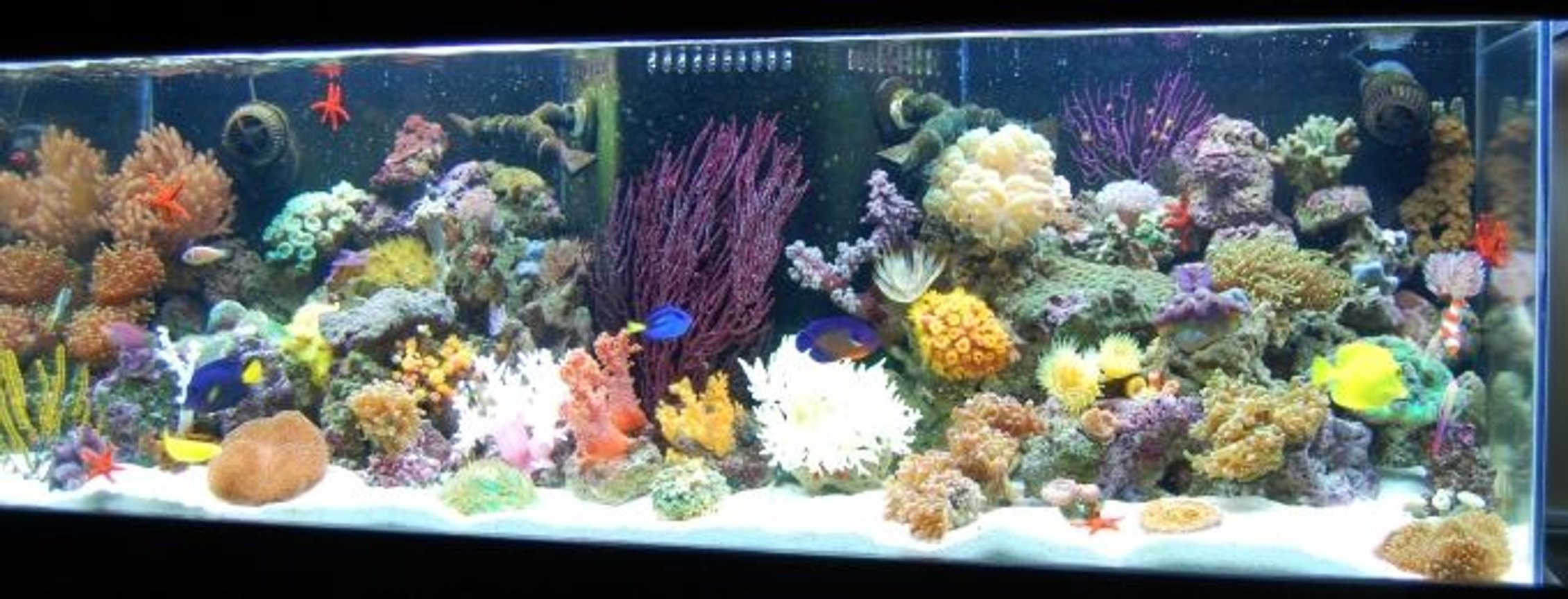 fish tank picture - Javier who has created this site has it rigged so you can't even vote on our pictures (Ryan - The Shepherds Reef Killer who built our tank has a tank posted which is NOT even his - we are done playing your third grade games) We are going to solicite the advertisers and make our own web site and do what we want on it so don't worry we'll be back ad # 1 again just like we were meant to be!!!!!!!!!!!!!!!!!!!!!!!!!!!!!!!!!!!!!) Every kind of fish you can think of that everyone says you can't keep together, we have in the tank --- WE PURCHASED EVERYTHING IN OUR TANK FROM JEFF'S EXOTIC FISH IN COSTA MESA (714) 540-0880 THEY ARE VERY KNOWLEDGABLE AND CAN GET YOU STARTED EVEN IF YOU JUST WANT A LITTLE NANO TANK. THANKS GUYS!!!! Full view of tank with more added and re-arranged (6/22/08)