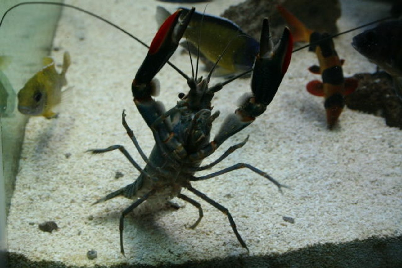fish tank picture - blue lobster