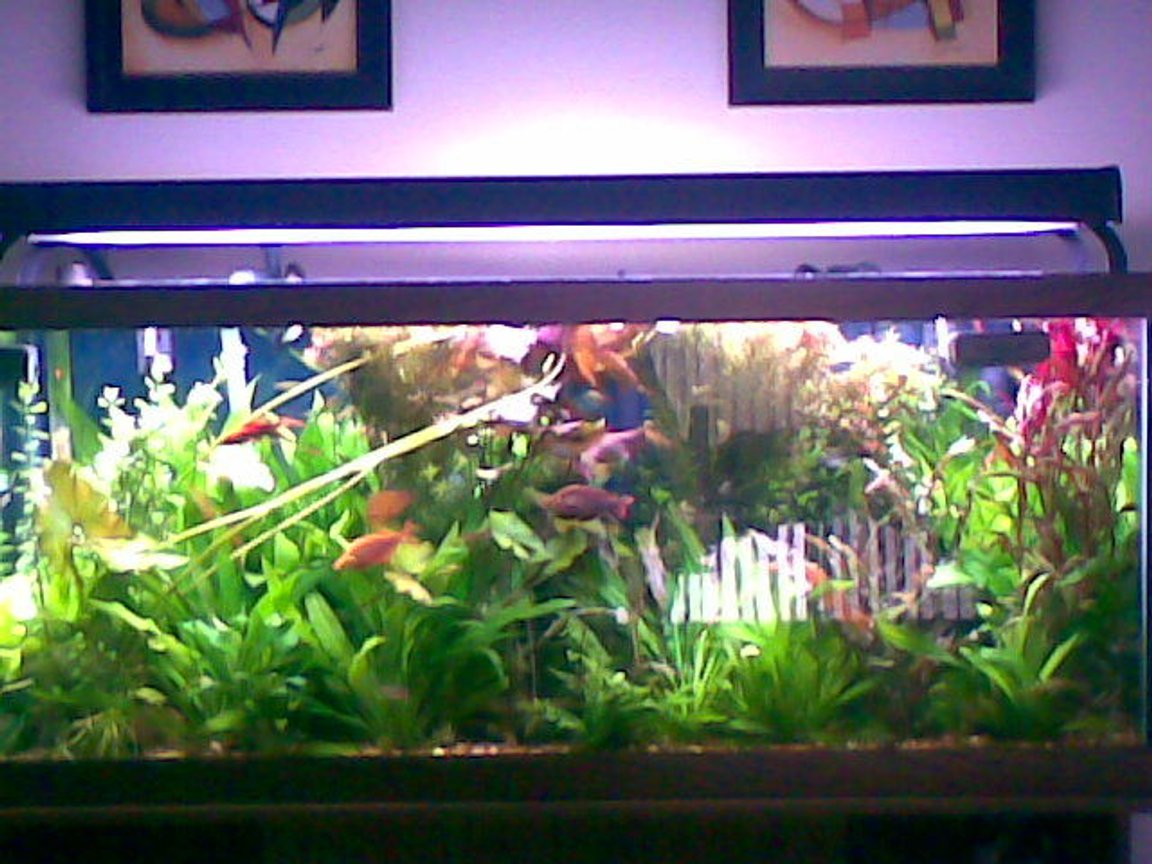 fish tank picture - this is a pic of my planted aquarium. it contains about 50 or so fish, from tetras to rainbows, catfisH, zebra pleco,..etc. i have probably a fish from every type of topography in the world. they all live hamoniously together, or atleast try to. i feed them frozen brine, bloodworms, and hikari mini waffers and algae waffers.