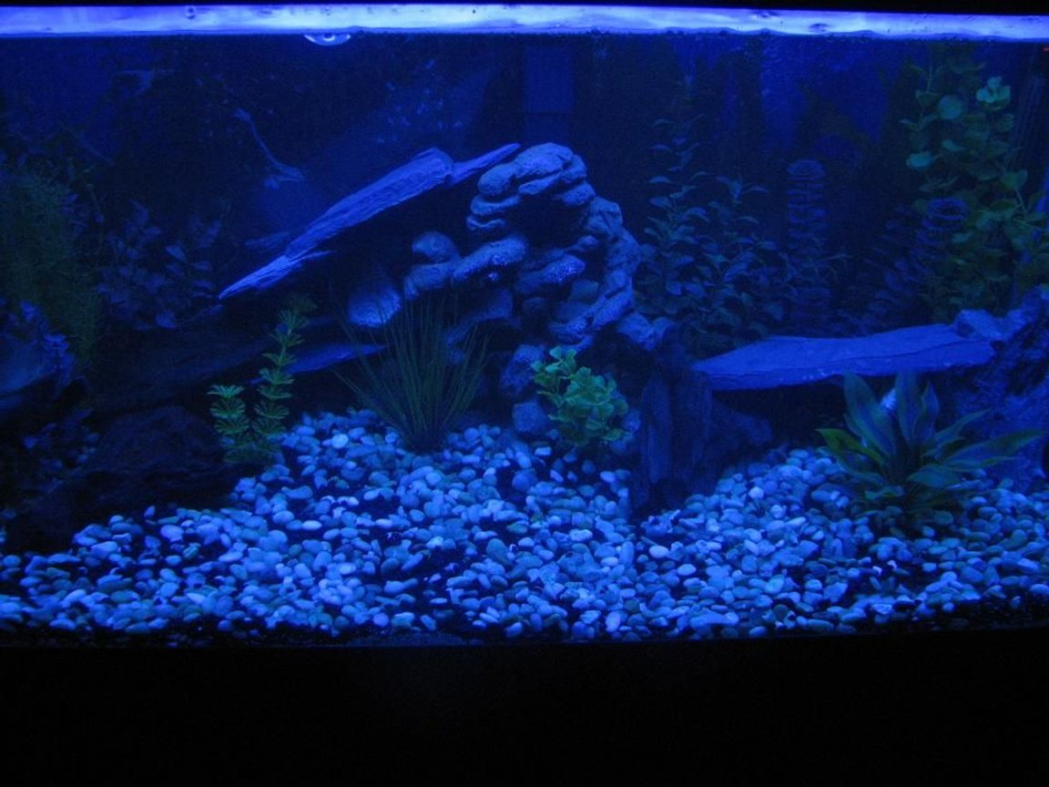 fish tank picture - ***New Night Lamp Project!!!***My 60 gallon tank. Home to 1 Red Oscar(Rosie), 1 Gold Severum(Brian), 1 Convict(Fifi) and 3 Silver Dollars(Clay, Jax and Obie-SoA)