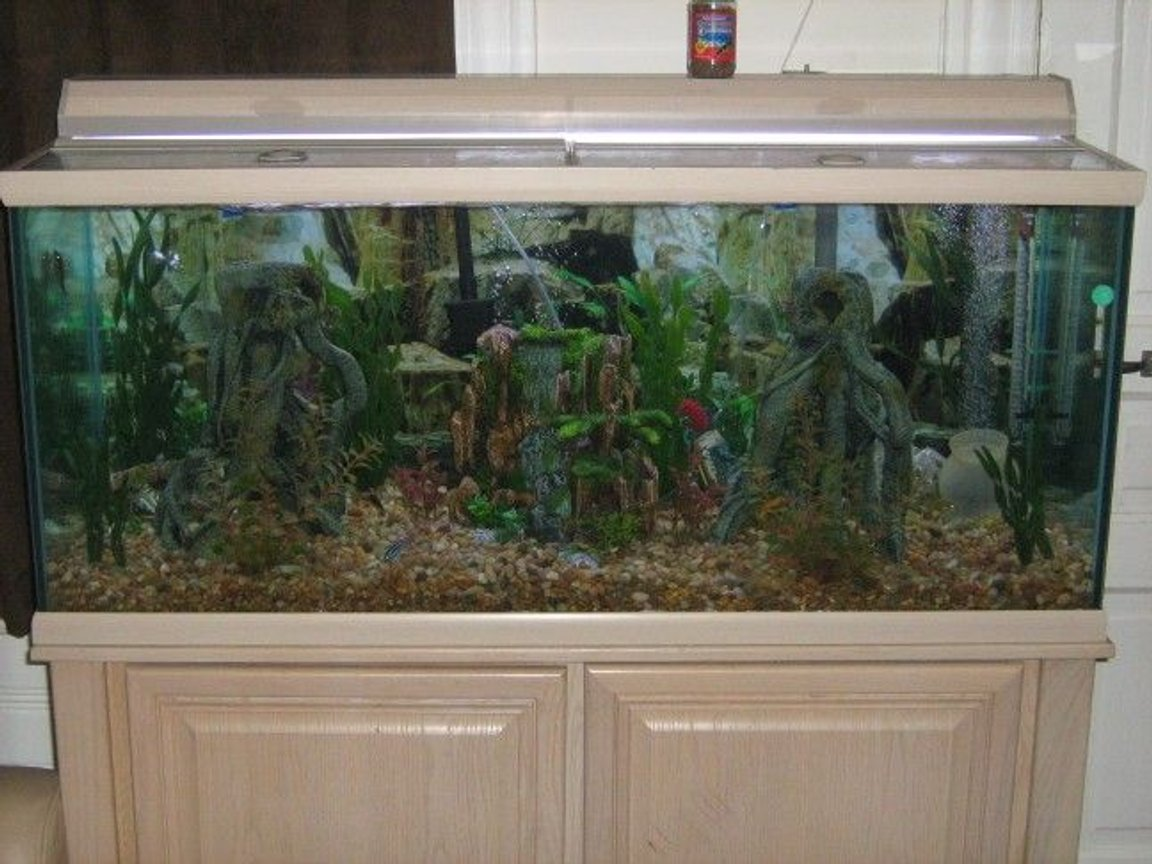 fish tank picture - My Custom Made 75 Gallon All Glass African Cichlid Tank.