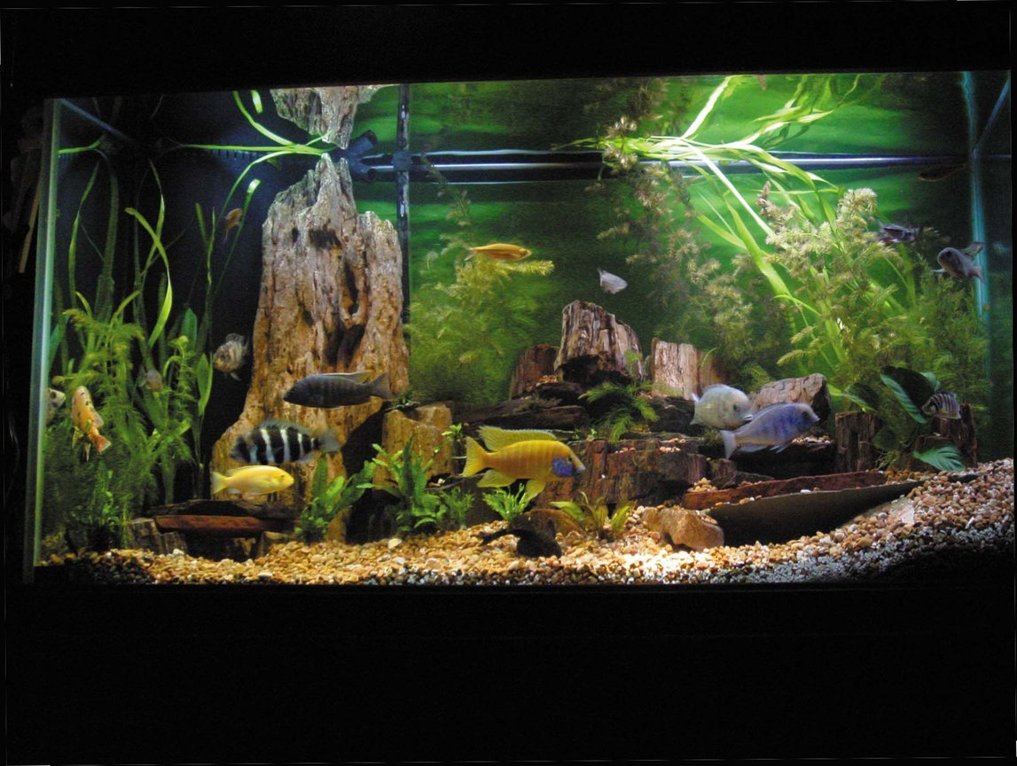 fish tank picture - Close-up of African Cichlid Tank