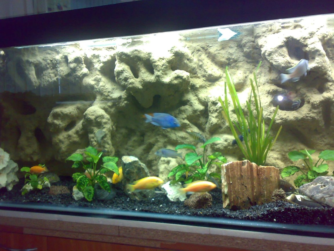 fish tank picture - Mbuna