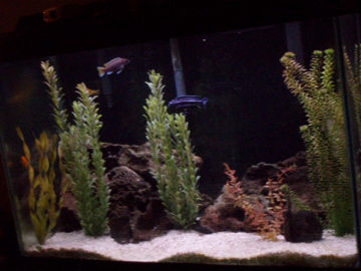 fish tank picture - malawi