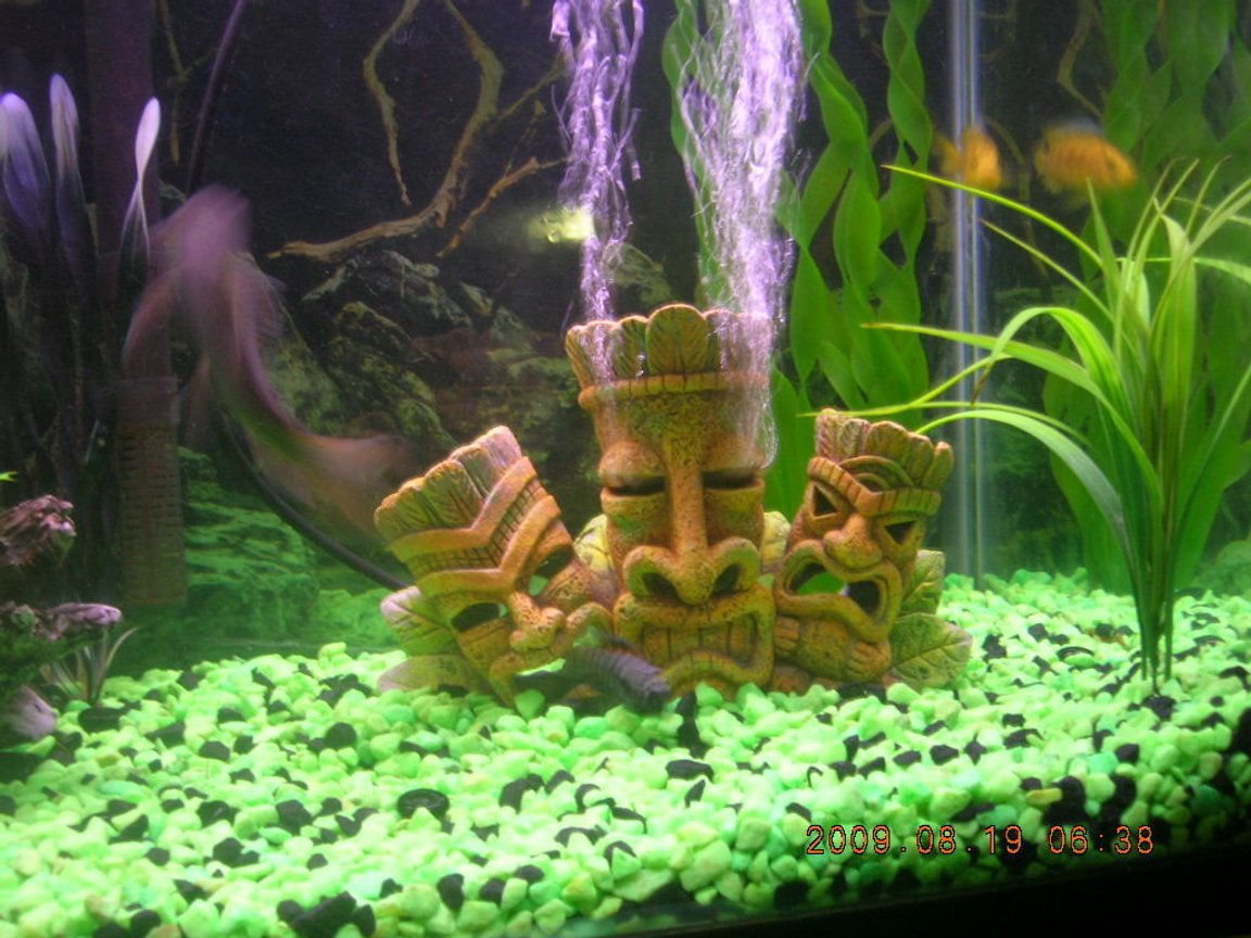 fish tank picture - african faces