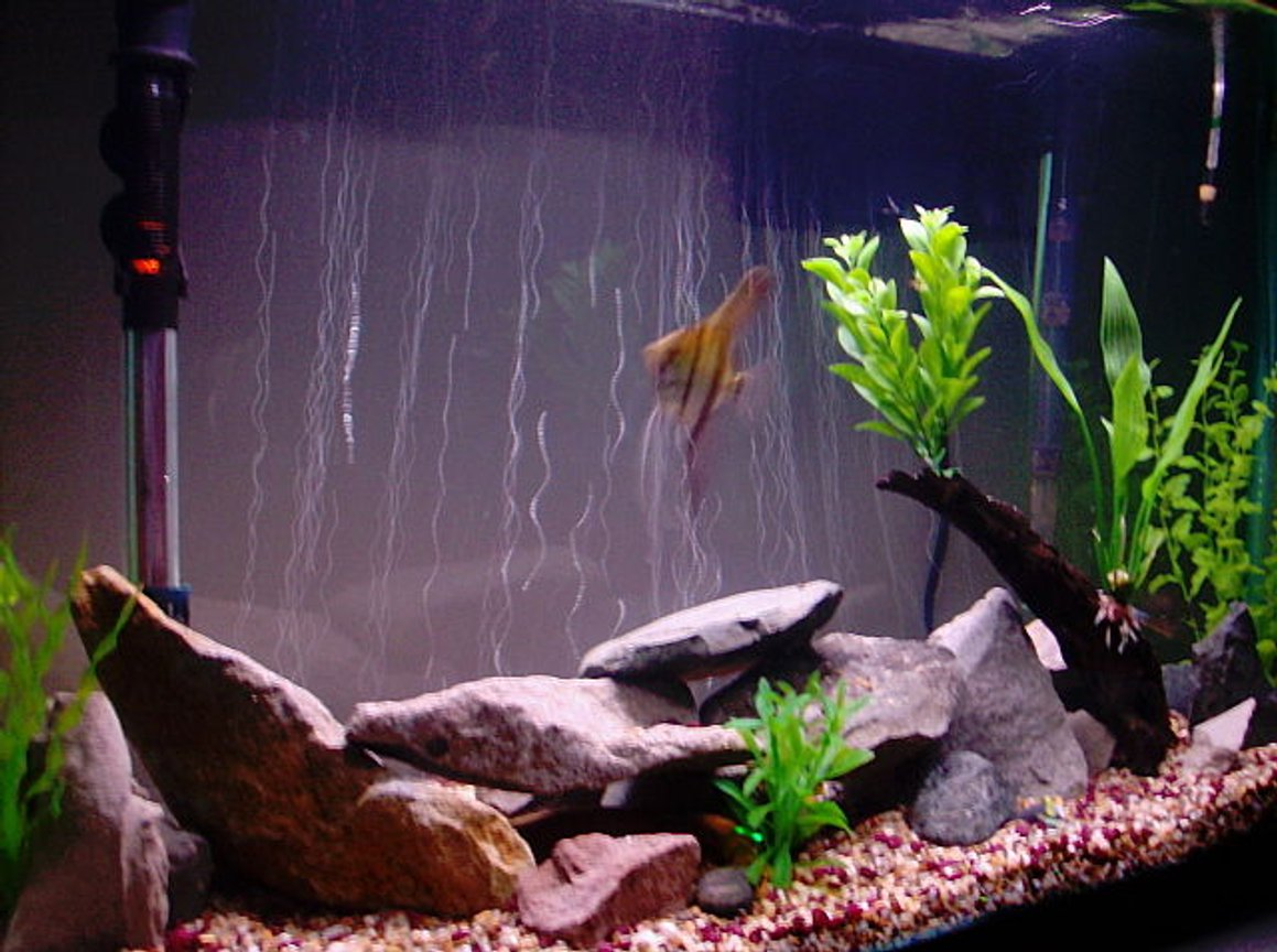 fish tank picture - 45 Gallon Tank - Flat River Rock/ Slabs - Artificial Plants - Asiatic Knifefish, African Rope Fish, Needle Nose Gar, Blue Gourami, Angelfish, Catfish