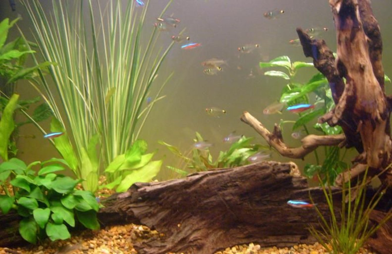 fish tank picture - My beloved tetras!!