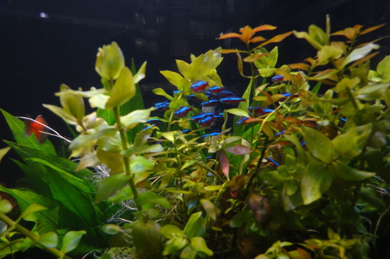 fish tank picture - cardinals
