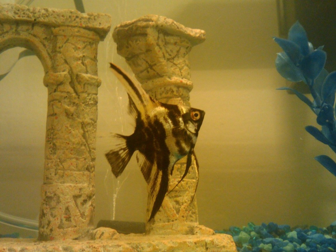 fish tank picture - Another of my Angelfish