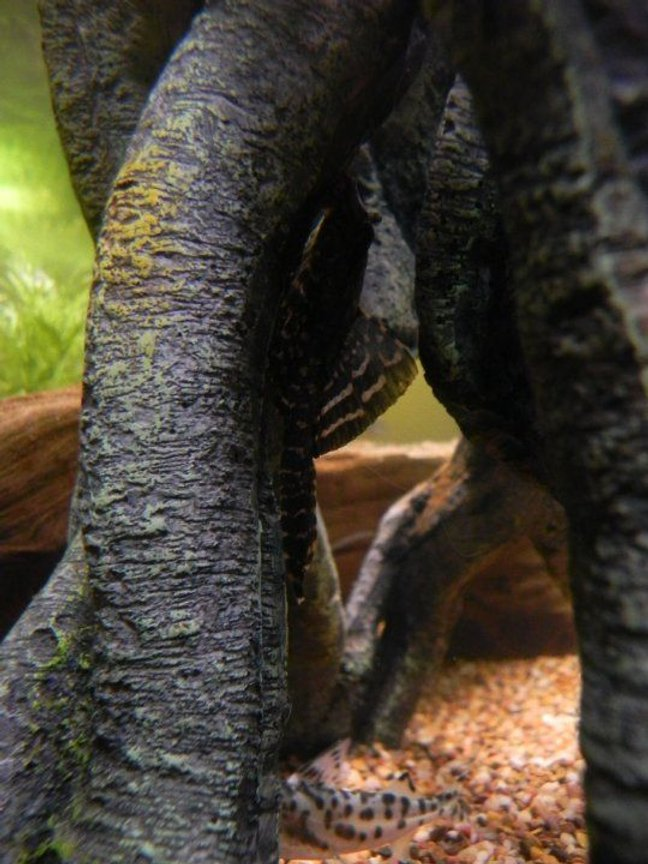 fish tank picture - 75 gallon amazonia. Pleco hanging out in the shade.