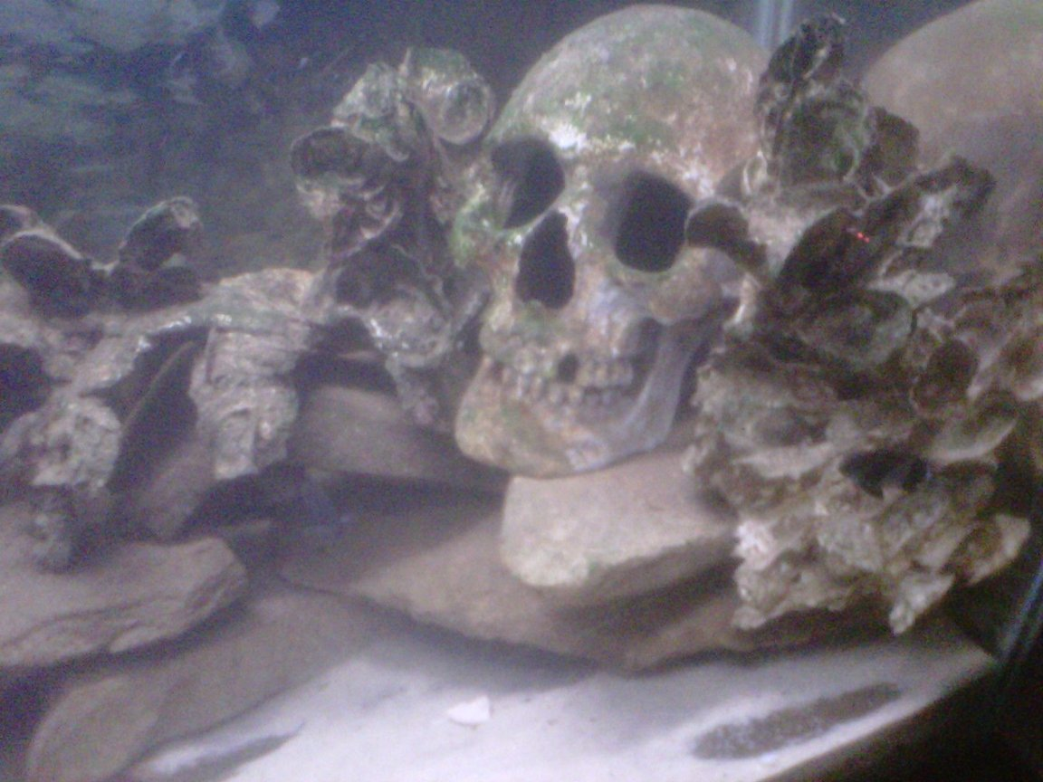 fish tank picture - Starting a good algae growth on skull