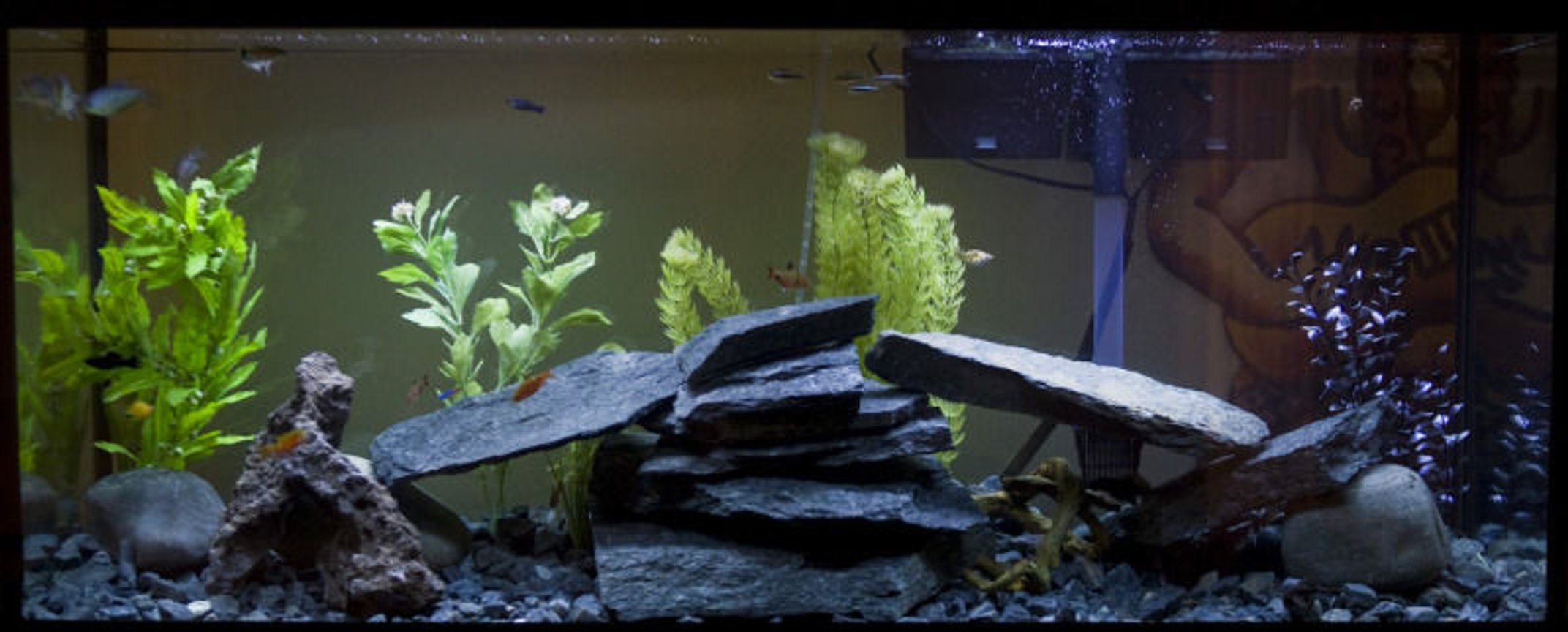 fish tank picture - 1 Blue Grommie 4 Black Molly 2 Balloon Molly 2 Sucker Mouth Catfish 5 Flame Tetra 5 Serpae Tetra 5 Neon Tetra 5 Striped Tetra 2 Red Eye Tetra I got all the rocks and only spent nine dollars. All the plants are fake but I'm going all real plant life very soon Lol yes those are Stainless Steel Brass Knuckles in my tank. Its a long story......