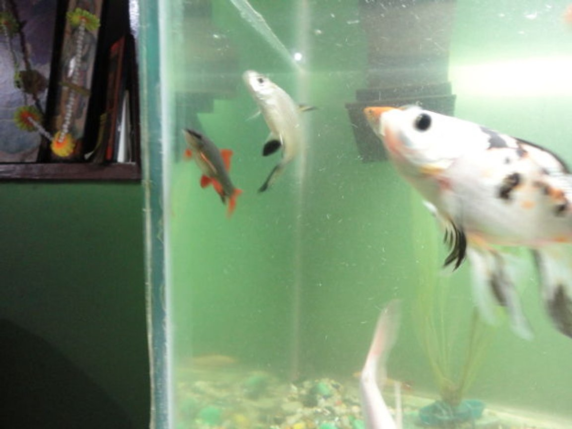fish tank picture - subyunkin with rainbow black and bala shark