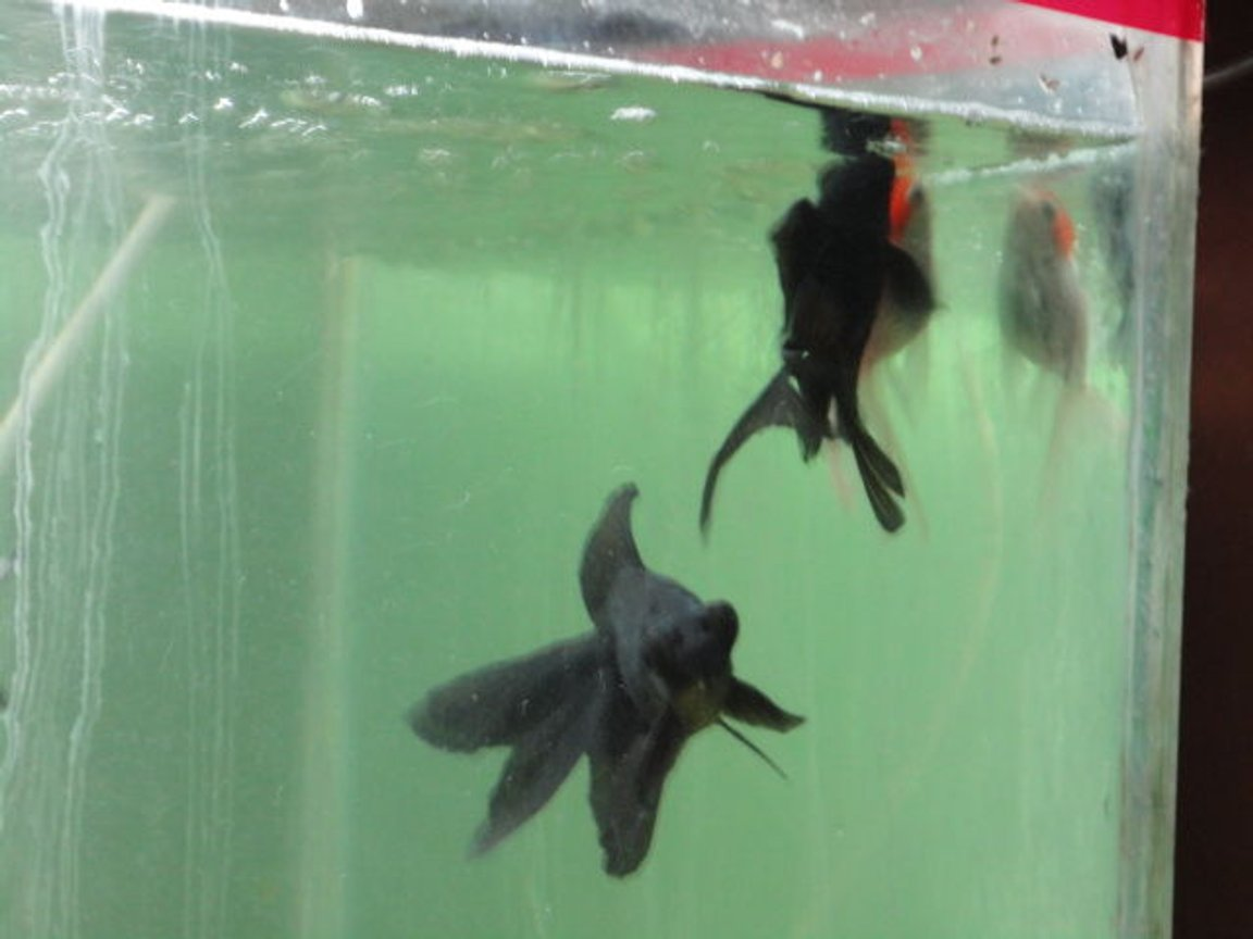 fish tank picture - both black mooree with red cap gold (small)